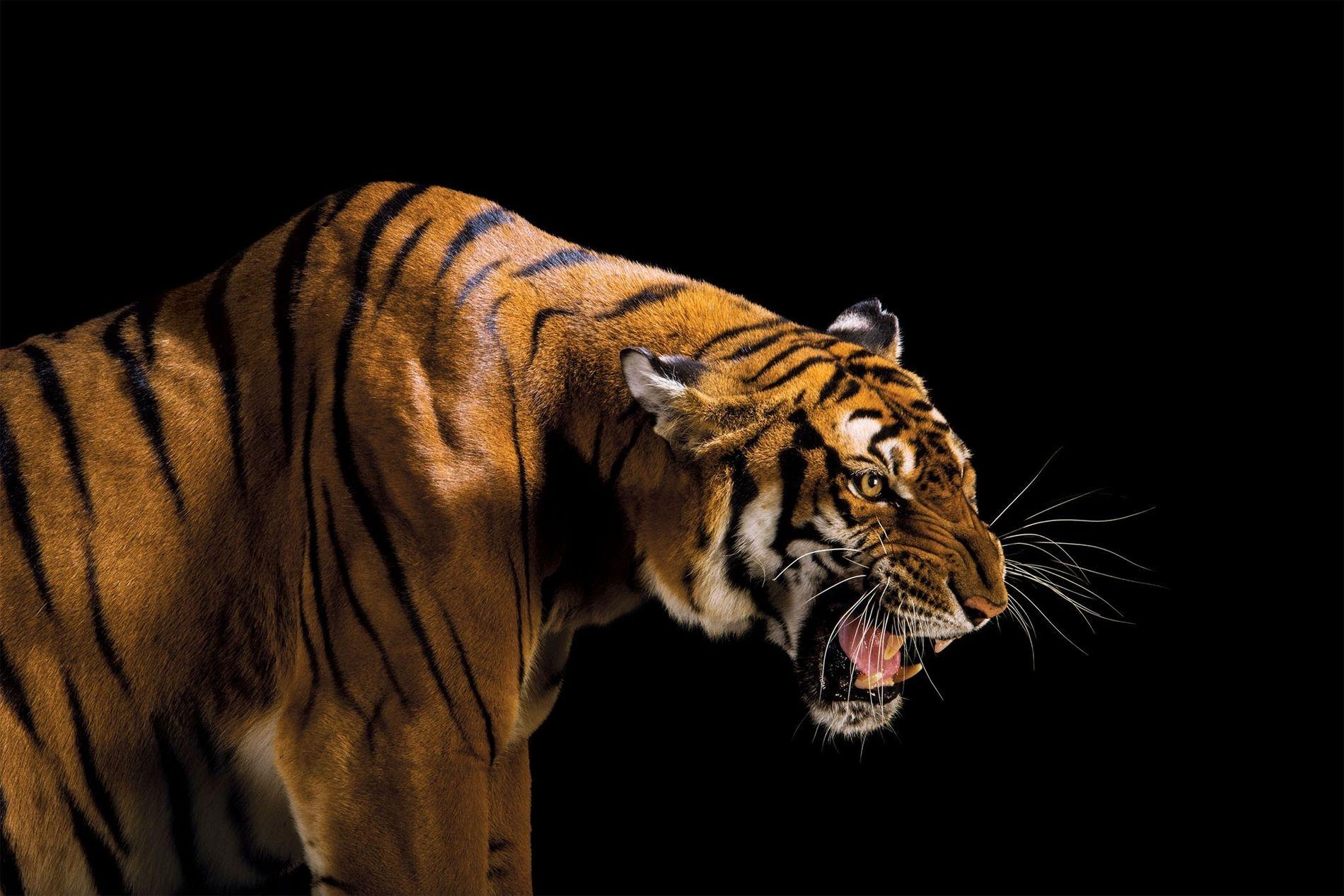 O tigre-da-china não é visto na natureza (Panthera tigris amoyensis) há mais de uma década. Em perigo crítico de extinção, ele possivelmente está extinto na natureza. Os zoológicos possuem menos de 200 indivíduos em programas de reprodução. Se o plano chinês de devolver alguns à natureza fracassar, essa poderá se tornar a quarta subespécie de tigre a ser extinta.