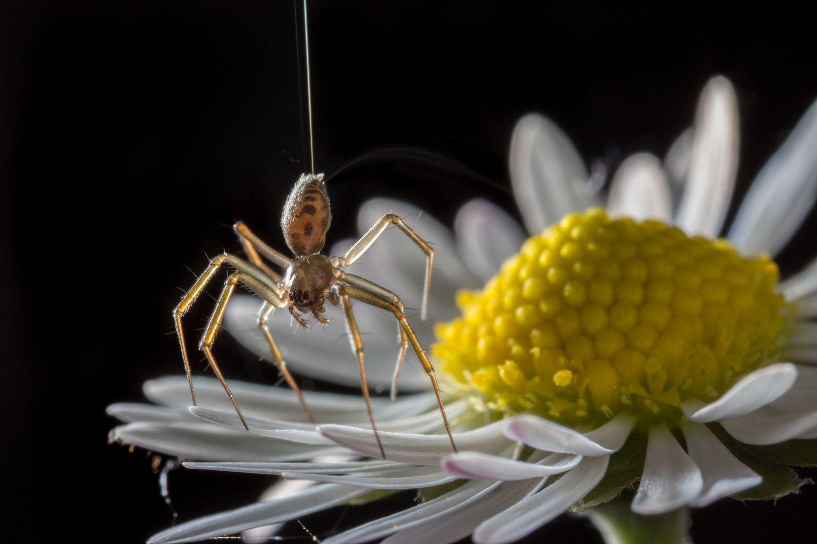 Uma aranha (Tenuiphantes sp.) anda na ponta dos pés em uma margarida. Aranhas podem ficar na ...