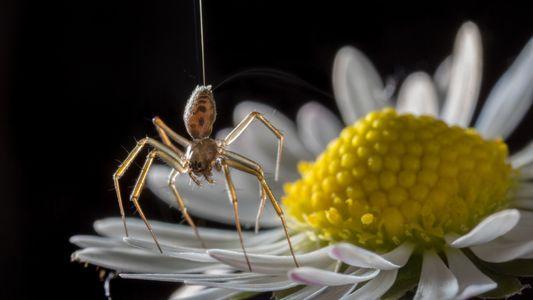 Seda das aranhas é um dos materiais mais versáteis da Terra