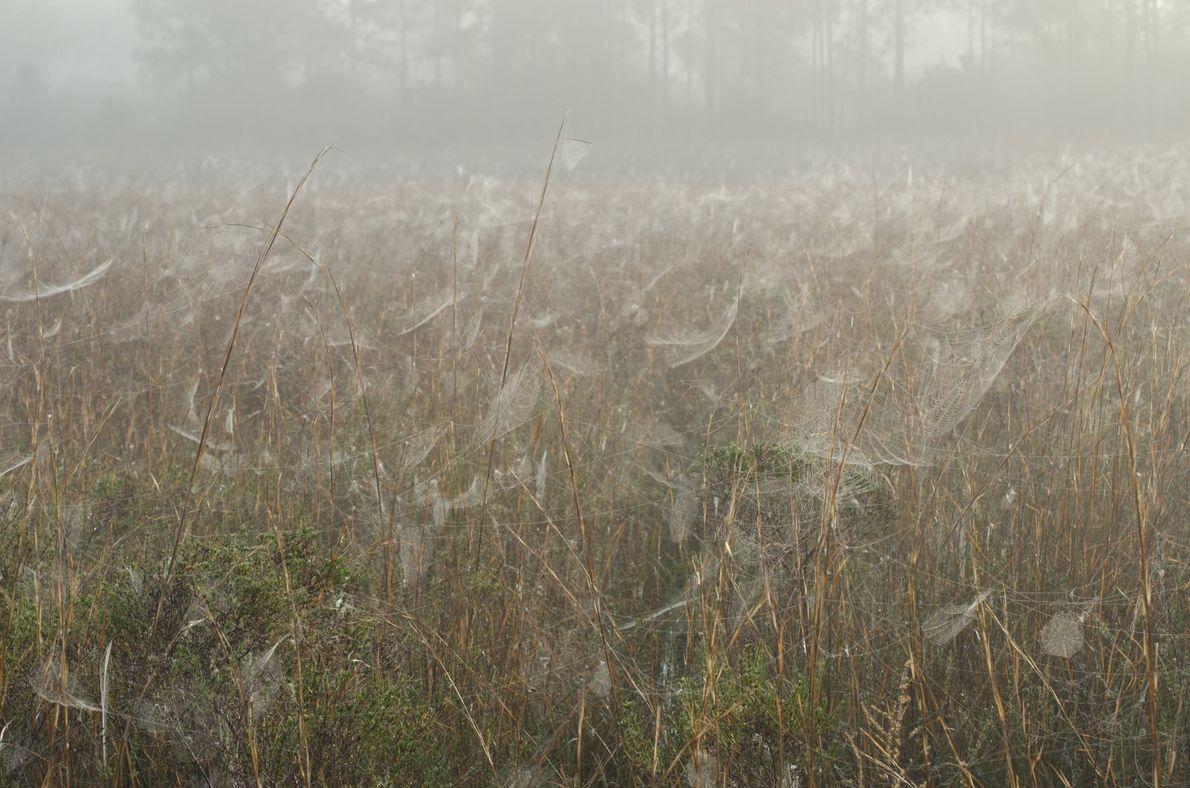 Teias de aranhas em um pasto alagado em uma fazenda de gado na Flórida Central, na ...