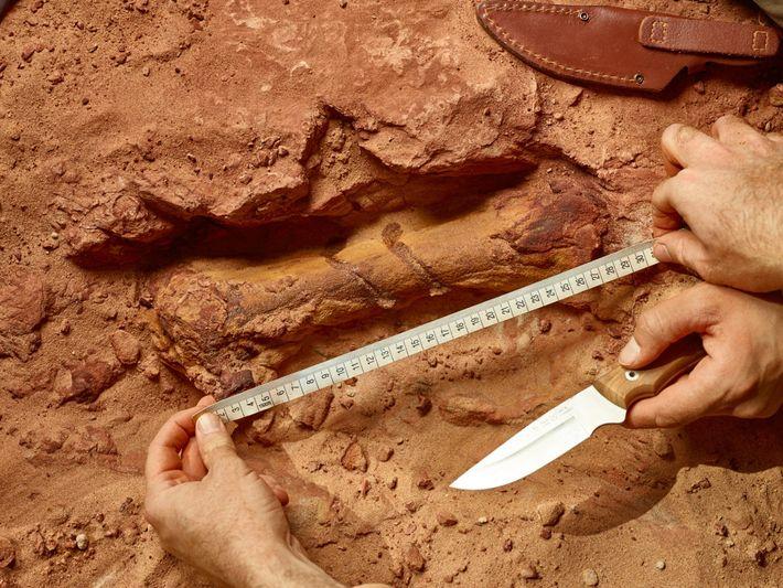 Um osso do pé de umSpinosaurusaparece na poeira vermelha no sítio arqueológico no Marrocos. O fóssil ...