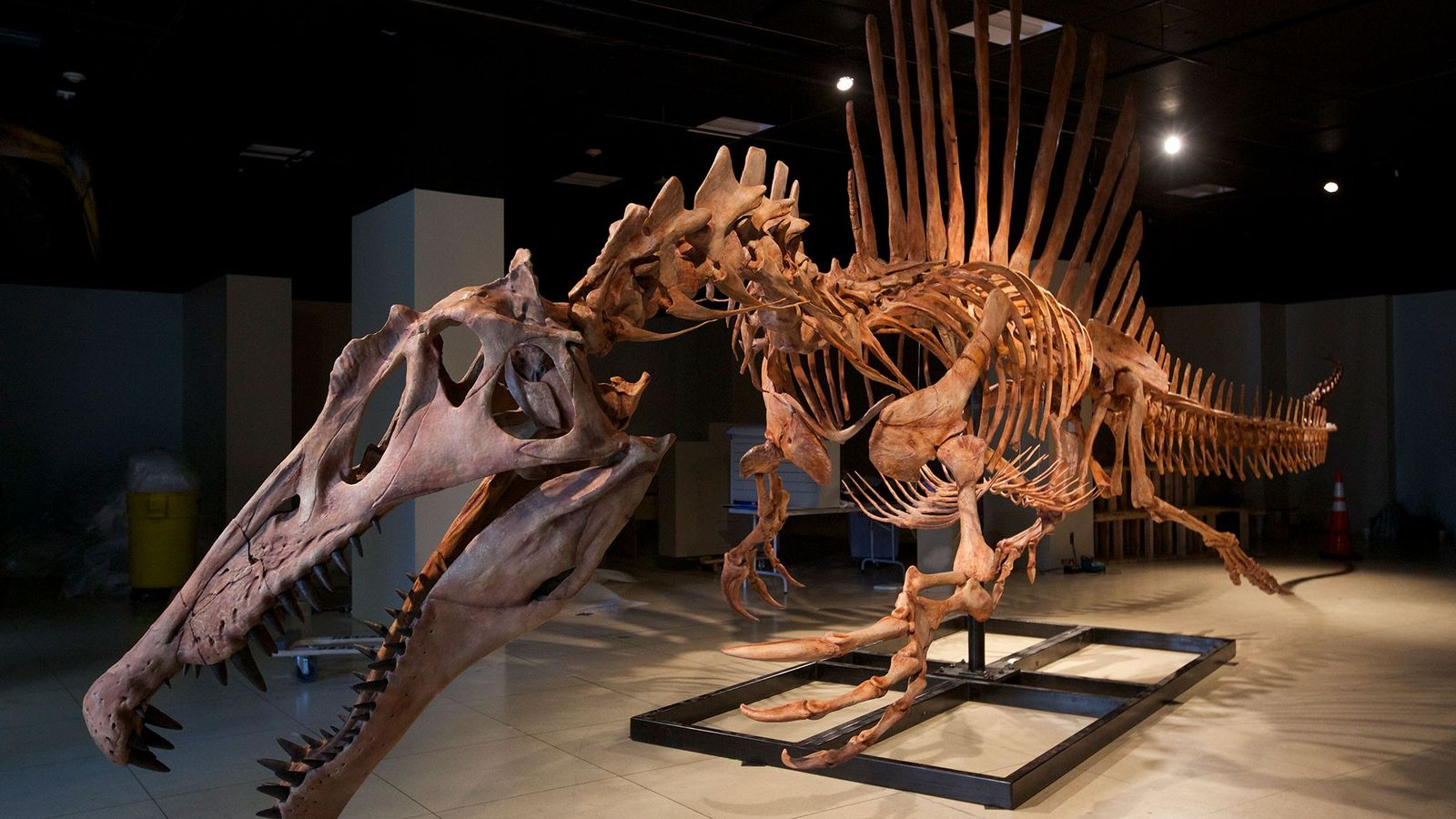 Um modelo em tamanho real do esqueleto do Espinossauro, o maior dinossauro carnívoro encontrado até o ...