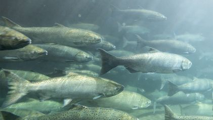 Demolição de enorme barragem pode salvar salmões em risco de extinção