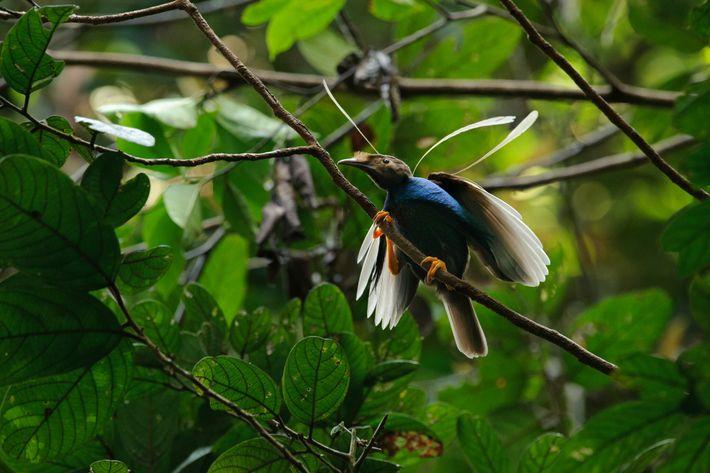 Os cientistas comparam Ubirajara à ave Semioptera wallacii, da Indonésia, cujos machos têm penas nos ombros igualmente ...