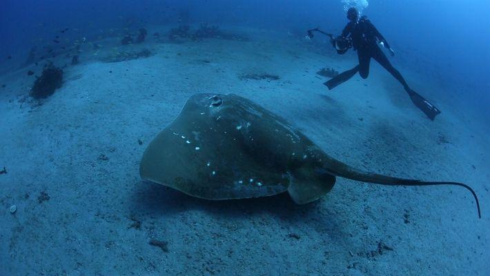 Cientistas realizam o primeiro estudo sobre a maior arraia marinha conhecida