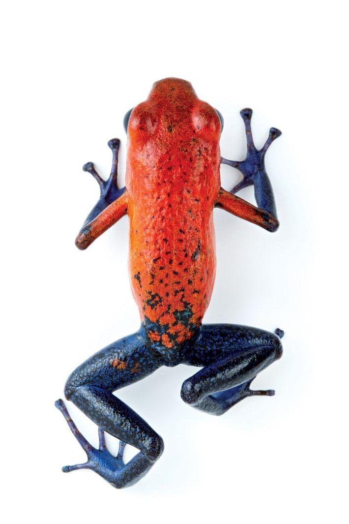 A pele da rã-morango produz toxinas, o que a ajuda a se proteger de predadores famintos. ...
