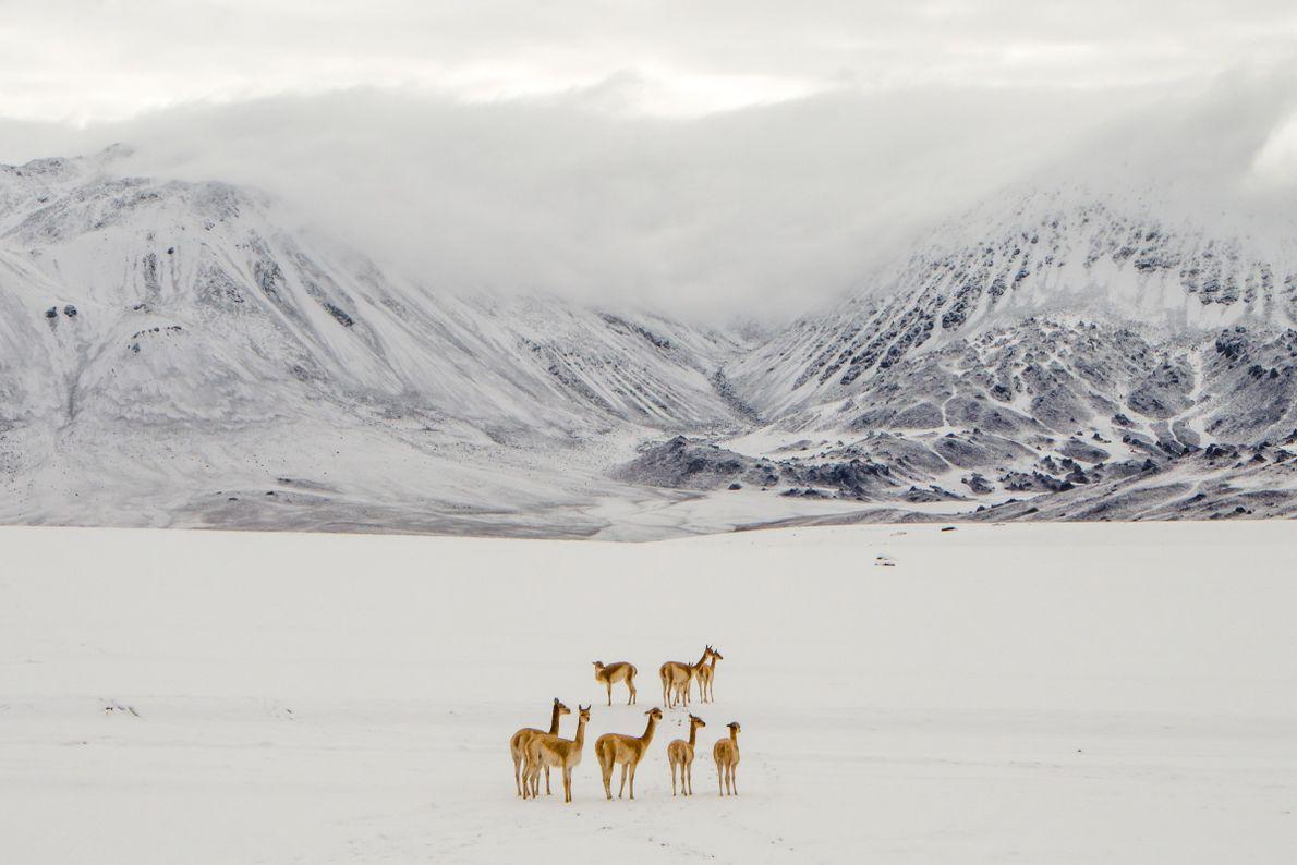 vicunhas-inverno-neve-deserto-do-atacama-chile-sua-foto