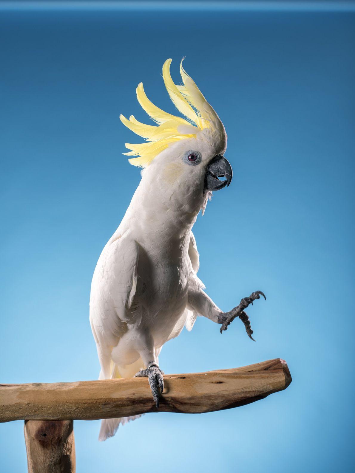 Estudo de 2009 mostrou que cacatuas-de-crista-amarela, como essa mostrada aqui, conseguem sincronizar seus movimentos com a ...