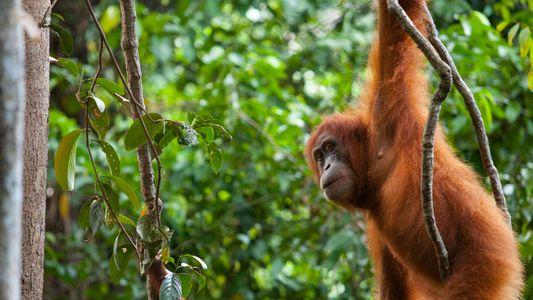 Primatas ameaçados de extinção enfrentam alto risco de contrair covid-19