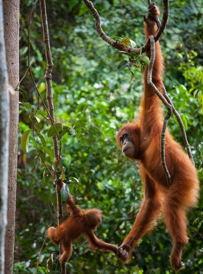 Uma mãe orangotango-de-sumatra segura as mãos de seu bebê no Parque Nacional Gunung Leuser, na Indonésia.
