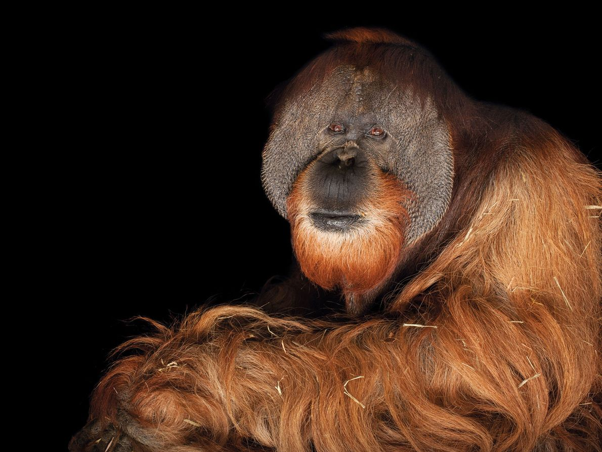 Orangotango-de-sumatra, Pongo abelii (em perigo crítico de extinção)