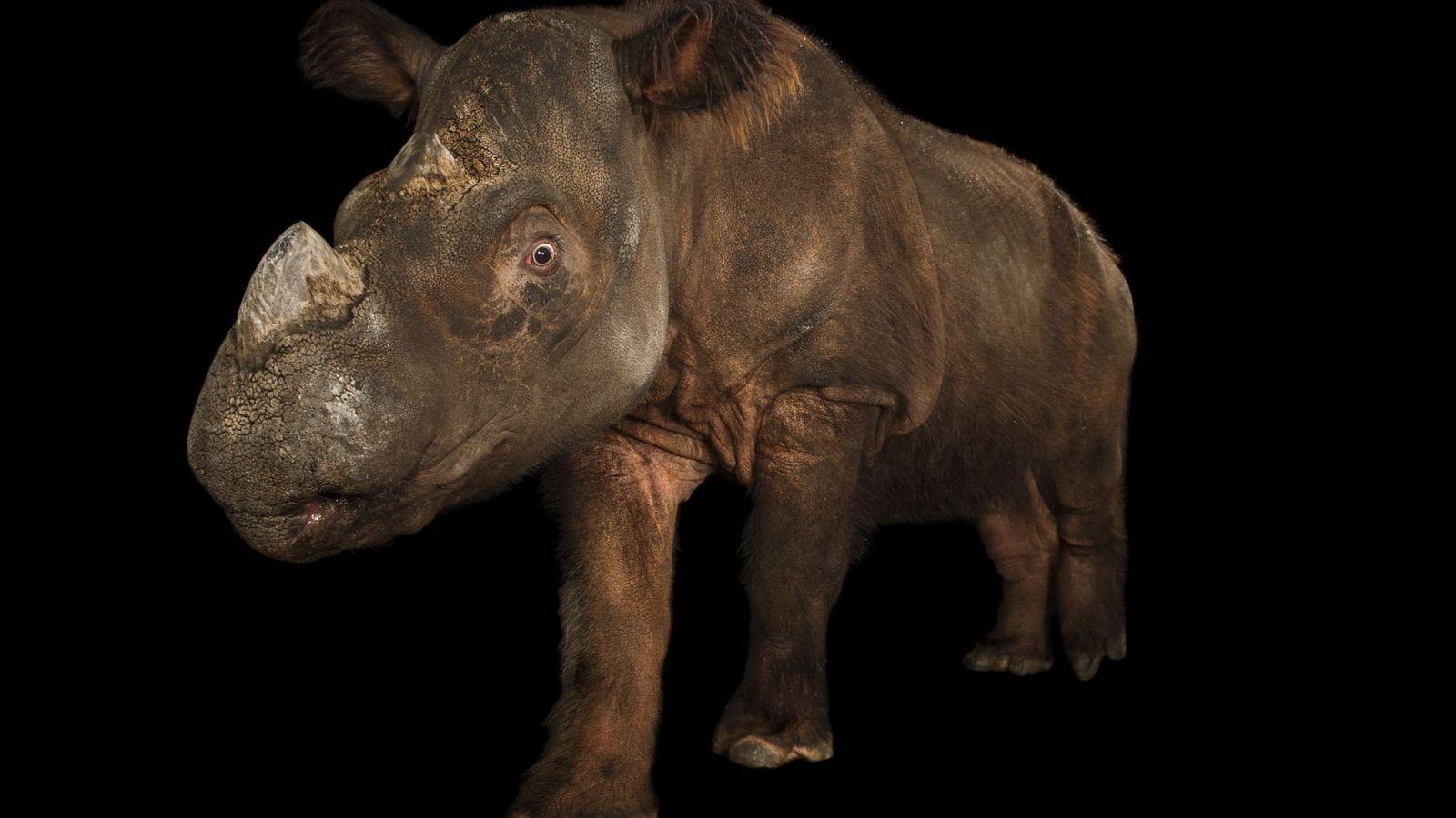 Este rinoceronte-de-sumatra, em grave ameaça de extinção, foi fotografado no Zoológico de Cincinnati, em Ohio. Acredita-se ...