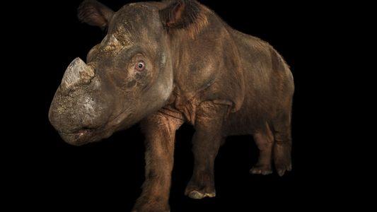 Primeiro rinoceronte-de-sumatra capturado em tentativa urgente de conservação da espécie