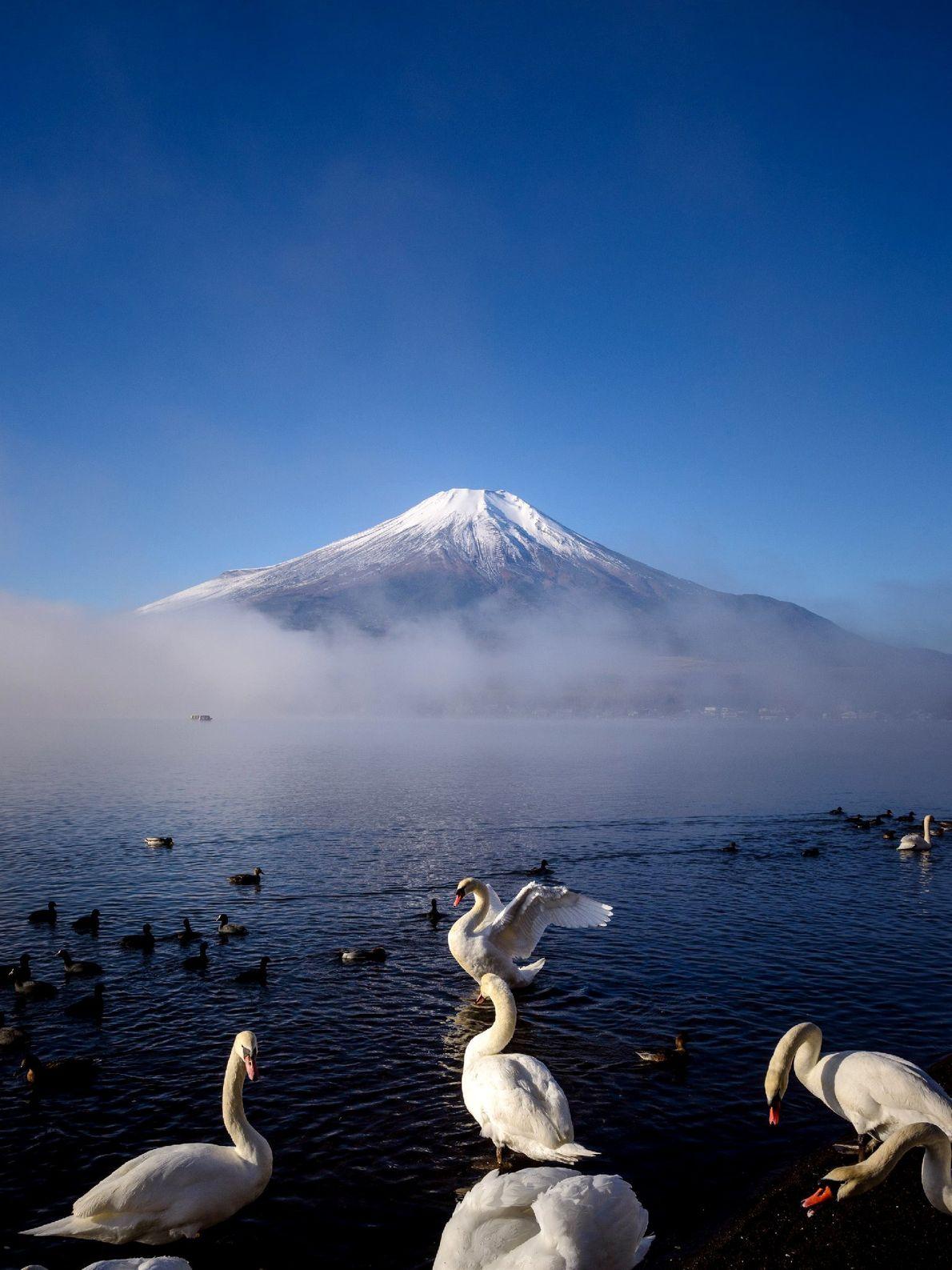 Visitantes tem a chance de ver cisnes dançando em frente ao Monte Fuji do Lago Yamanaka. ...