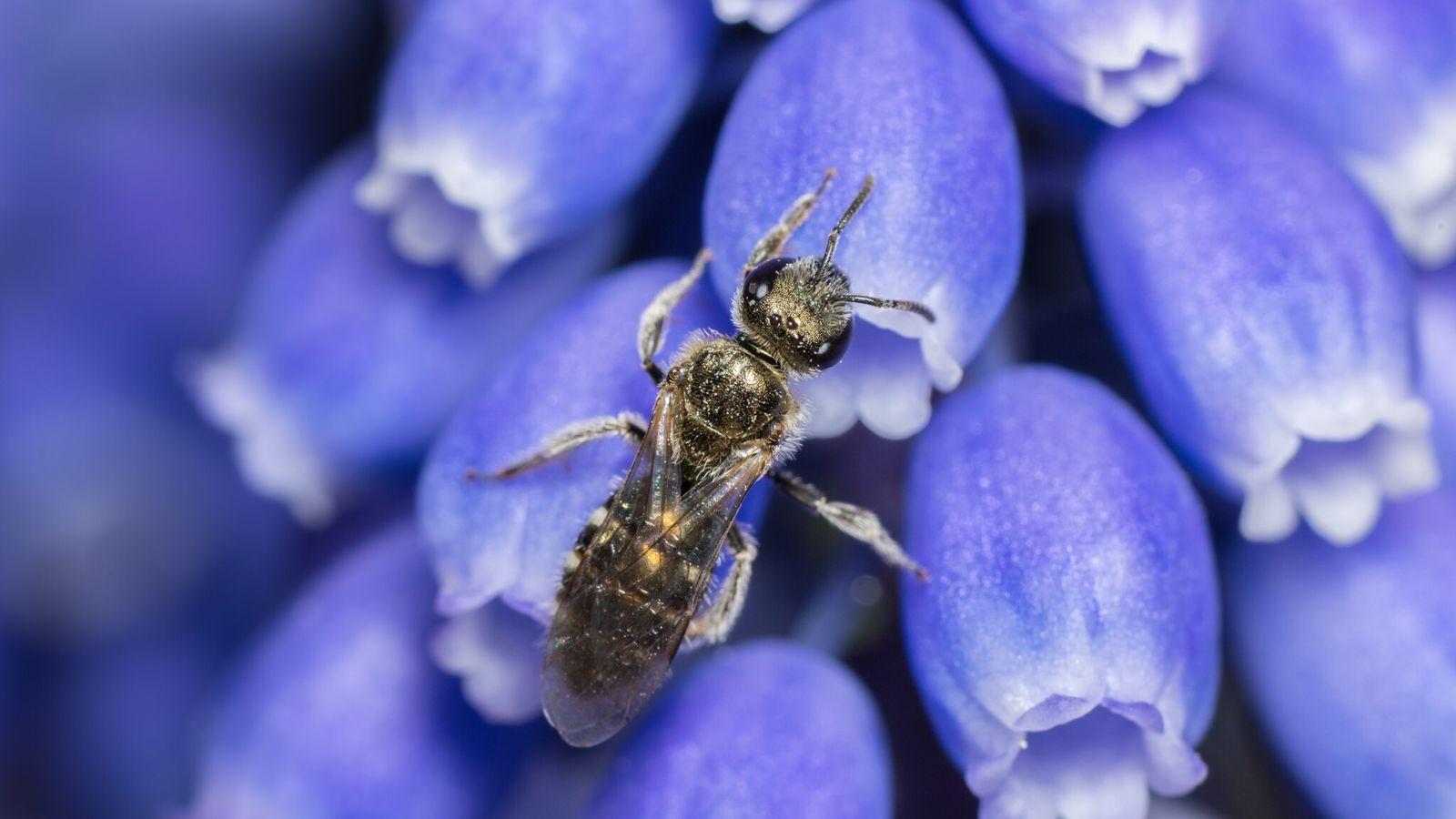 A abelha lasioglossum smeathmanellum de 4,5 milímetros de comprimento pertence à família Halictidae, também conhecida como ...
