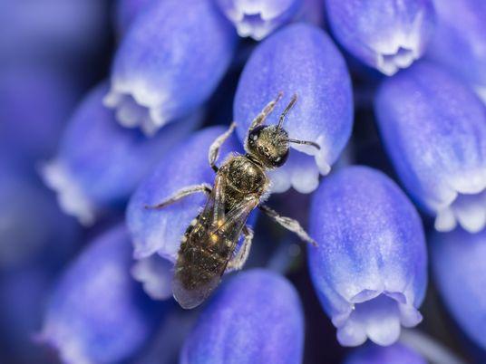 Não vemos um quarto das espécies conhecidas de abelhas desde a década de 1990