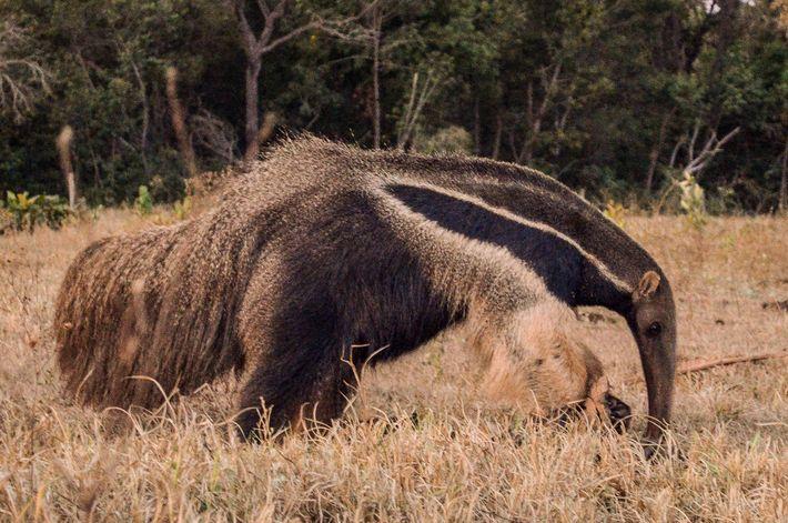 O tamanduá-bandeira possui um focinho alongado e uma boca sem dentes. Usam as garras dianteiras afiadas ...
