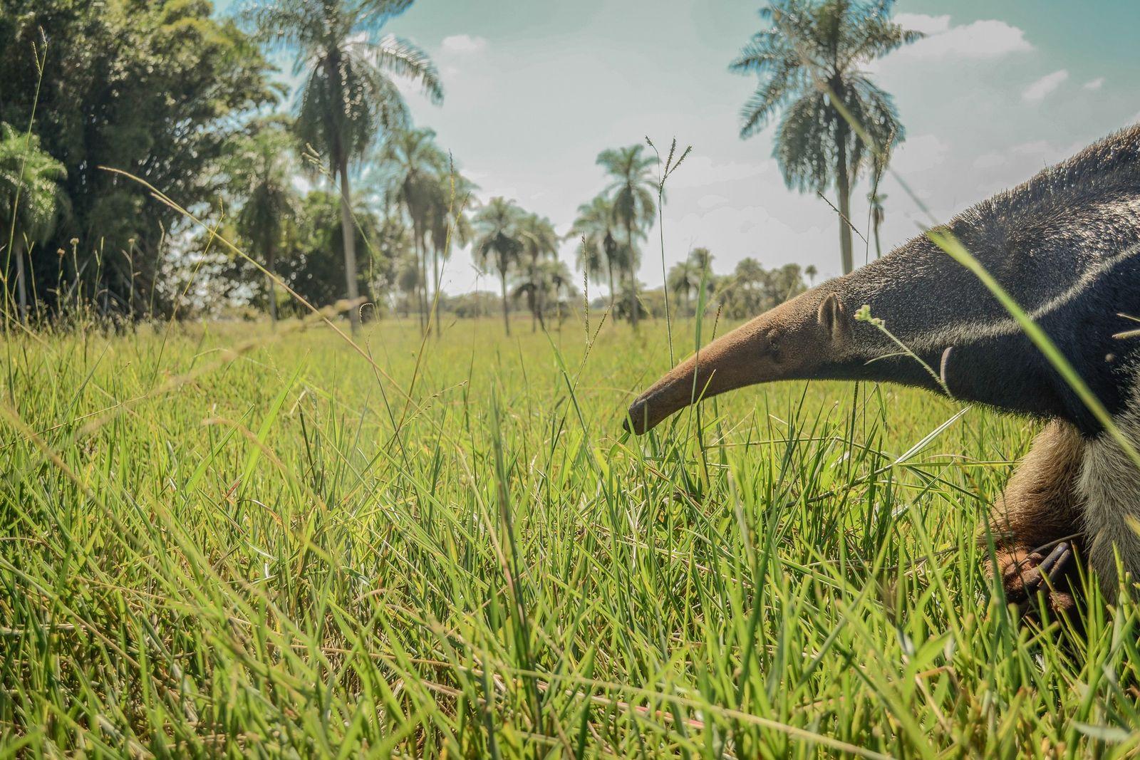 Além de servirem de alimento para algumas espécies de grandes predadores carnívoros,os tamanduás-bandeiras atuam no controle ...
