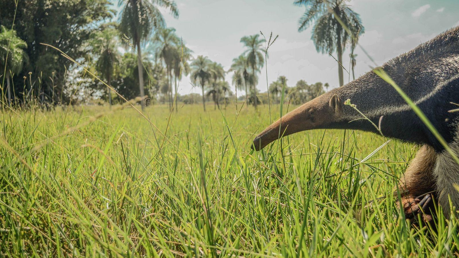 Além de servirem de alimento para algumas espécies de grandes predadores carnívoros, os tamanduás-bandeiras atuam no controle ...