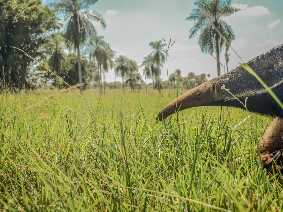 """""""Se não agirmos rápido, o tamanduá-bandeira corre o risco de ser extinto"""""""