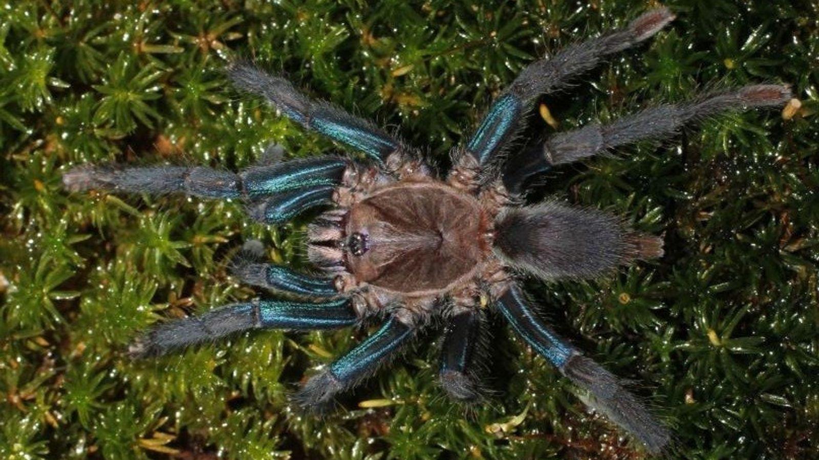 Fêmeas da espécie recém-descoberta apresentam pernas de um azul brilhante, enquanto os machos são amarronzados.