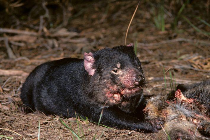 Um diabo-da-tasmânia com câncer facial senta-se ao lado de uma carcaça na Tasmânia, na década de ...