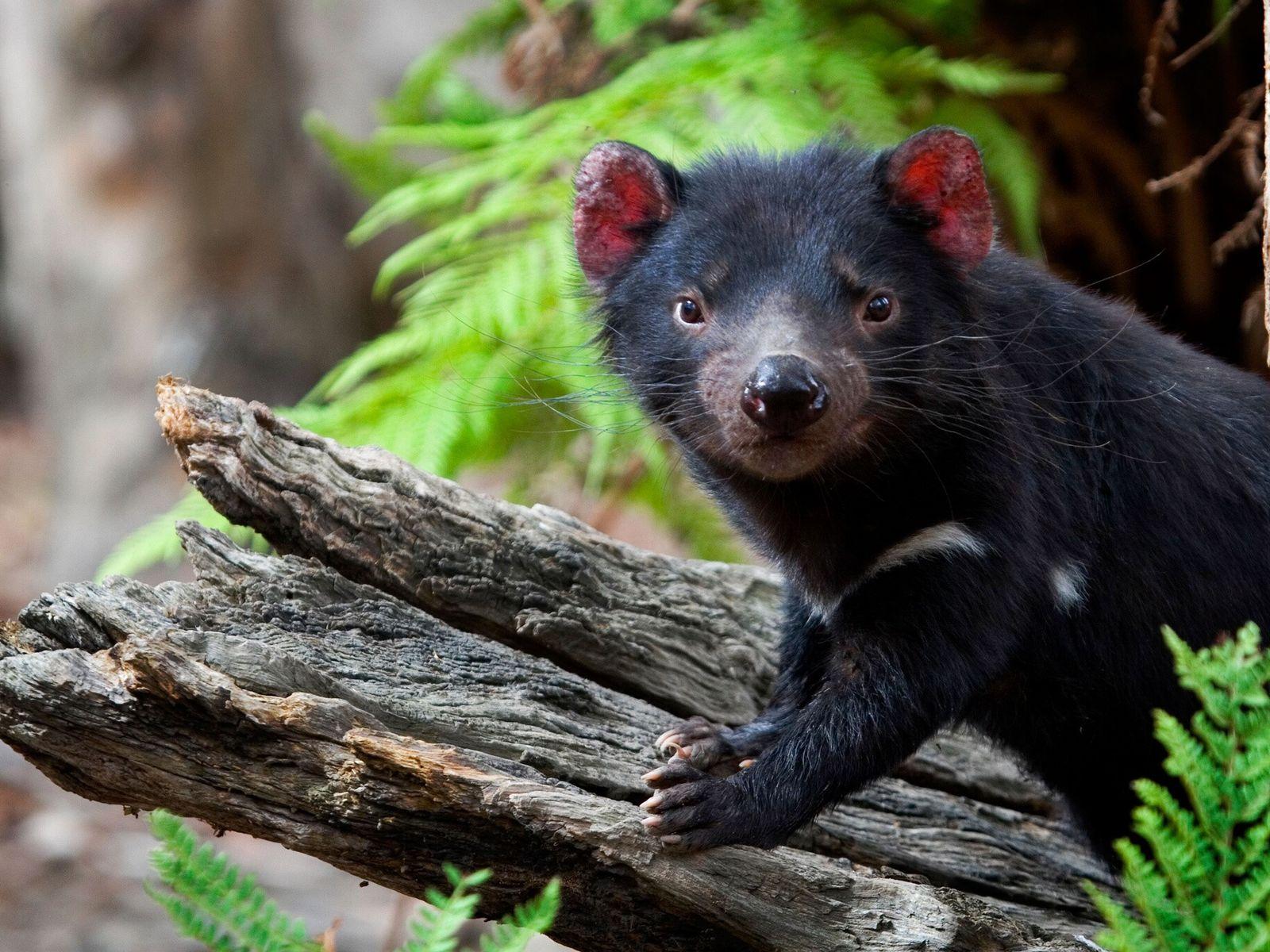 Diabo-da-tasmânia em cativeiro posa em um tronco no santuário animal Something Wild na Tasmânia, em 2008. ...