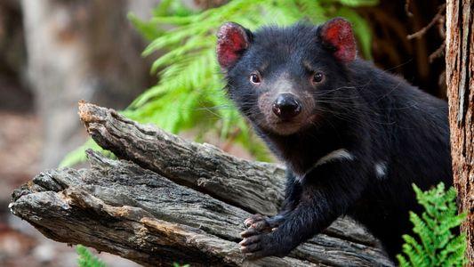 Câncer ameaçador que aflige diabos-da-tasmânia pode estar diminuindo