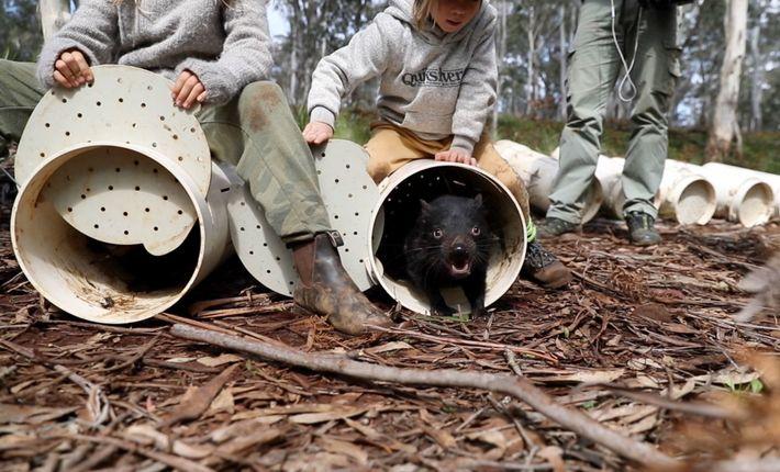 Diabos-da-tasmania chegam a sua nova casa nas florestas de eucalipto do leste da Austrália.