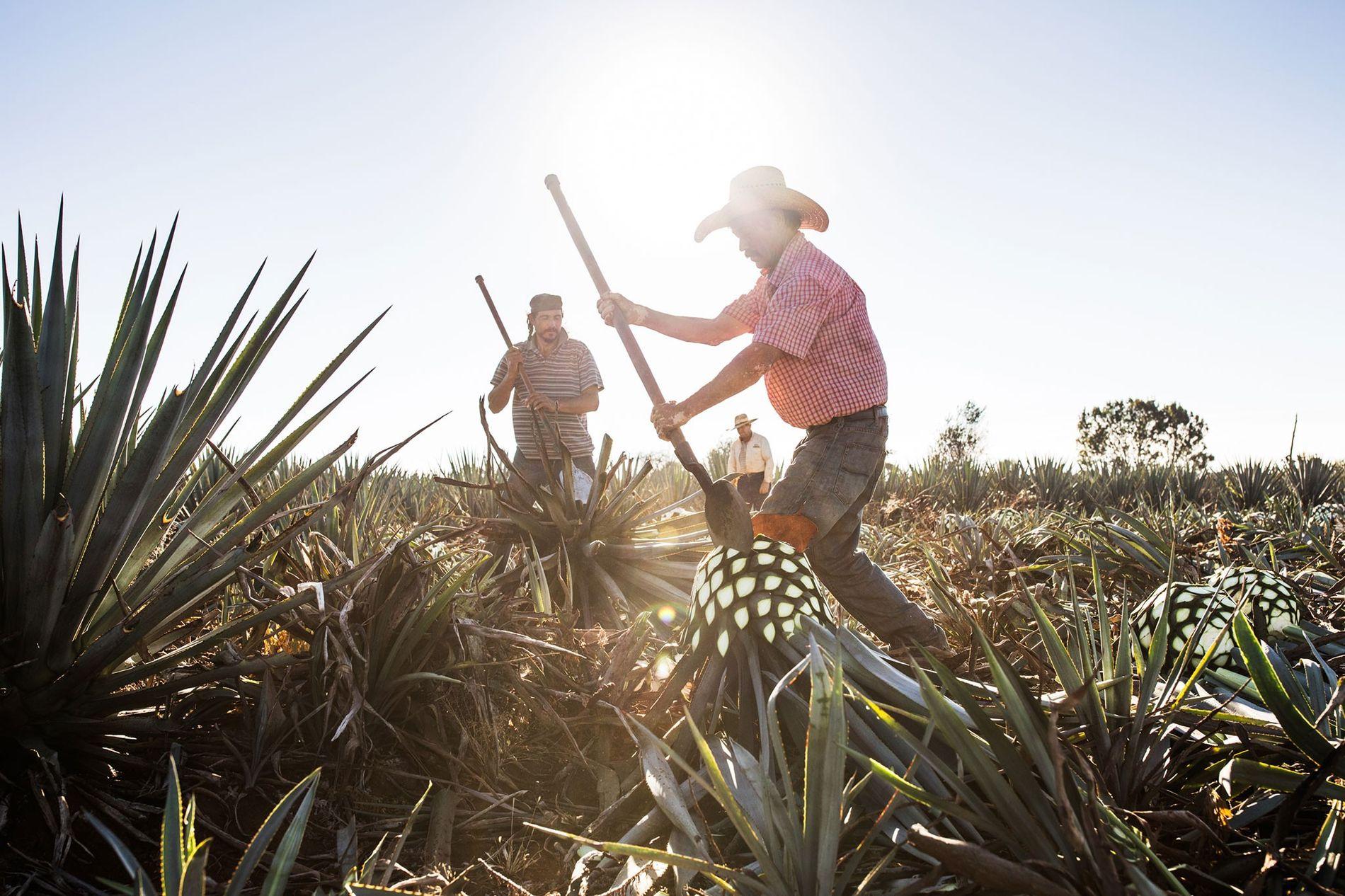 O lavrador Guillermo Parilla cortas as longas folhas de uma planta de agave para a produção ...