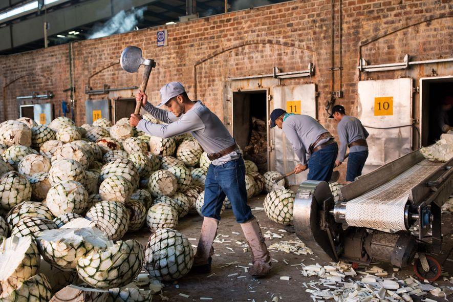 Funcionários cortam as pinhas ao meio antes de colocá-las em grandes fornos, onde serão cozidas até ...