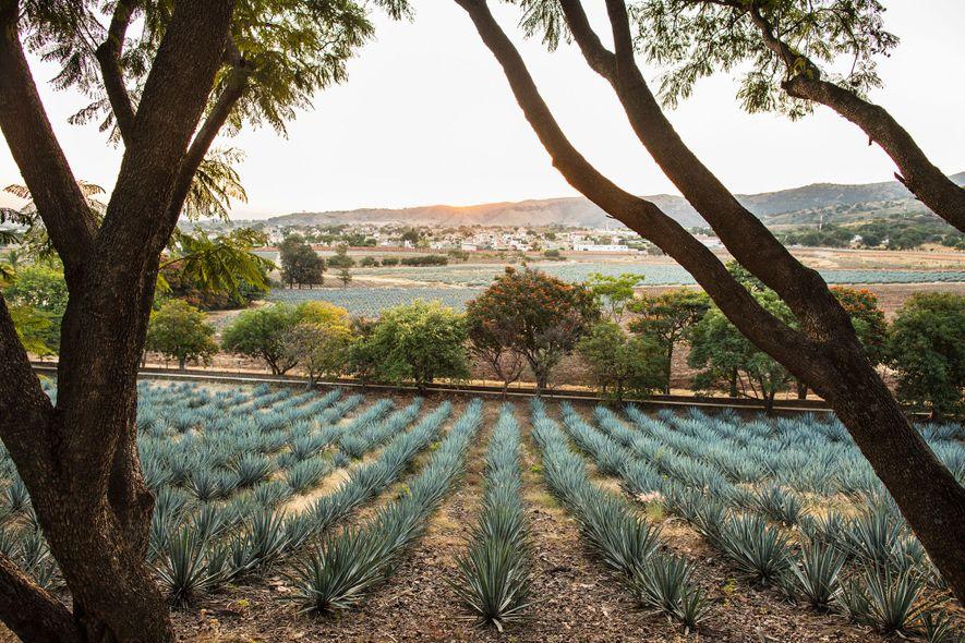 Campos de agave cobrem uma colina na Destilaria Fortaleza em Tequila.
