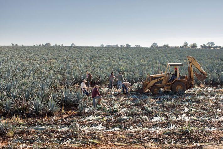 Jimadores, ou colhedores, cortam um agave-azul na destilaria da Tequila Ocho, em Jalisco. Depois que a ...
