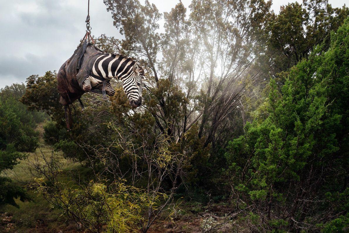 Uma zebra sedada é suspensa por um helicóptero em um rancho do Texas denominado Sexy Whitetails, ...