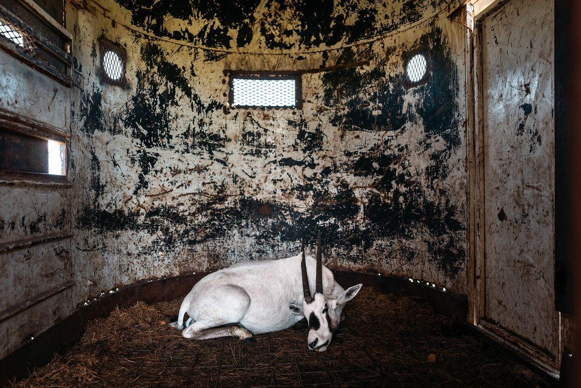 Um órix-da-arábia sedado em um reboque no Rancho 777, no Texas, aguarda transporte a outra instalação. ...