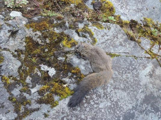 Descobertas duas novas espécies de esquilo-voador do tamanho de gatos no Himalaia