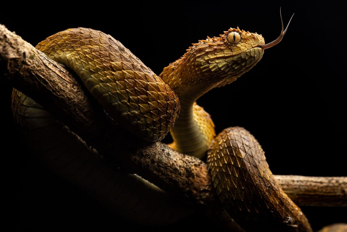 Movimentando a língua, uma víbora-das-árvores fareja os arredores. Serpentes peçonhentas matam cerca de 30 mil pessoas ...