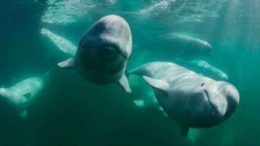 #SegredoDasBaleias – Belugas criam redes de amizade que duram a vida toda