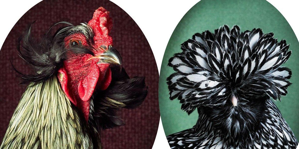 7 fotos majestosas revelam a elegância de galos e galinhas | National Geographic