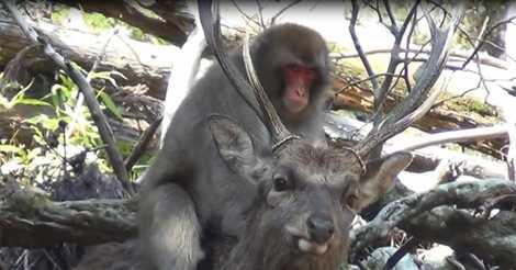 """Fêmea de macaco-japonês é flagrada em """"interação sexual"""" com cervo"""