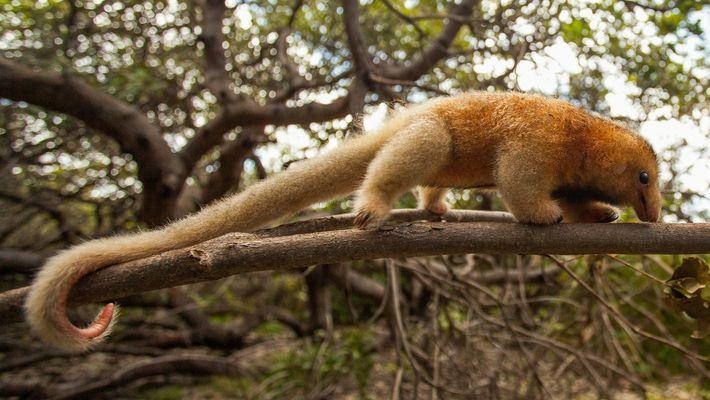 Com menos de meio quilo, o tamanduaí é a menor espécie de tamanduá do mundo