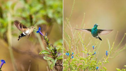O curioso caso da mariposa que finge ser beija-flor