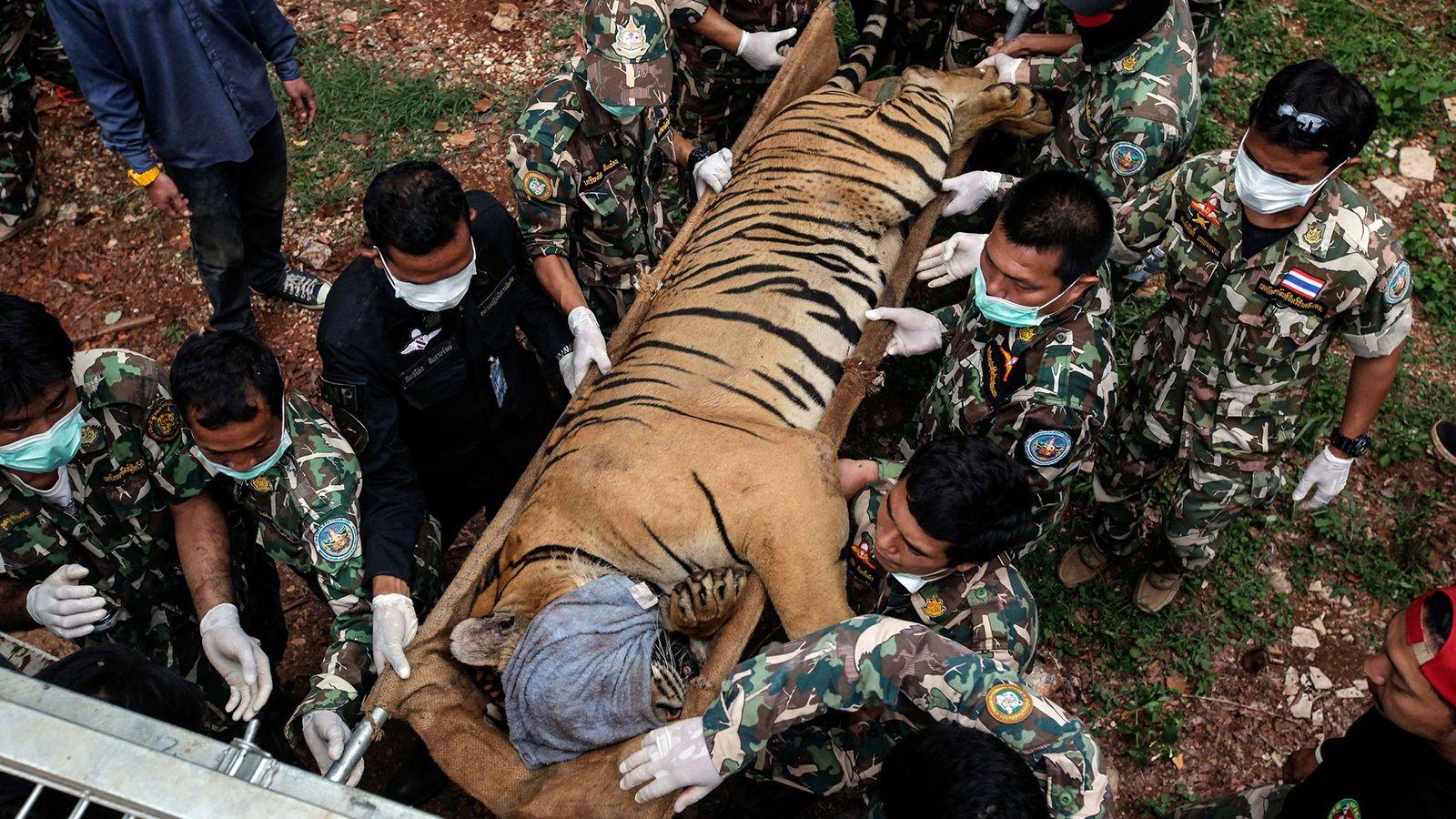 Em 2016, 147 tigres foram resgatados em uma operação do governo no Templo dos Tigres, na ...