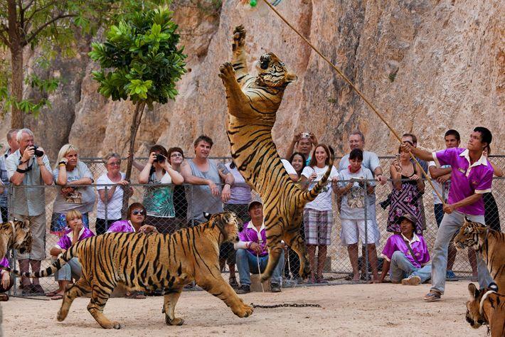 Tigres na famosa instalação eram um atrativo turístico importante para visitantes que queriam tirar selfies com ...