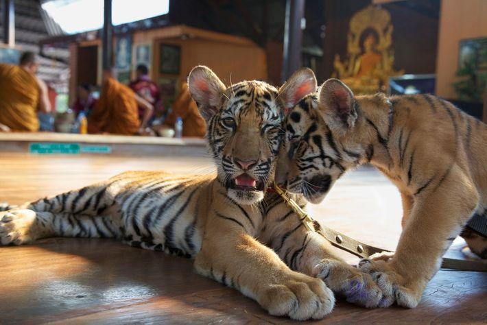 Visitantes no Templo dos Tigres pagavam para dar mamadeira para os filhotes, como os dois nessa ...
