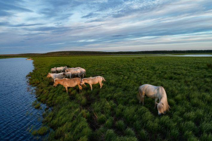 Os Zimovs acreditam que grandes animais pastadores ajudaram a preservar as ricas pradarias do Ártico durante ...