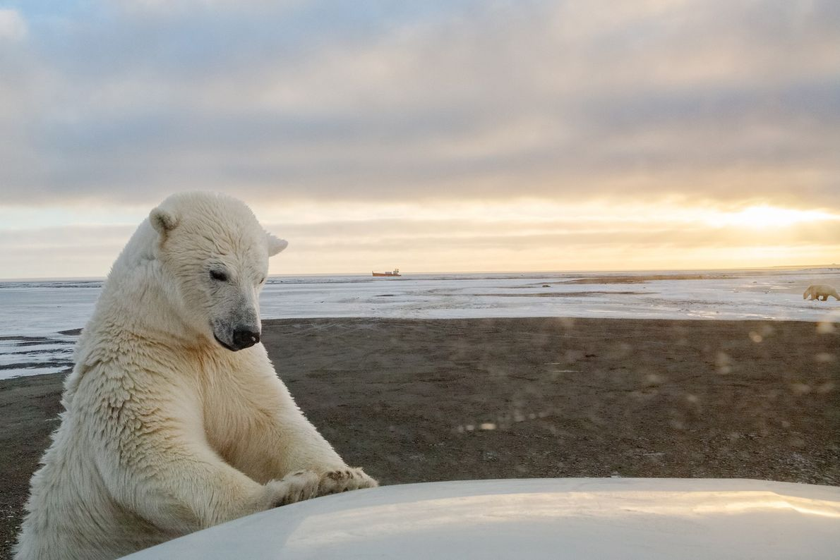 Um urso polar inspeciona um carro perto de Kaktovik, Alasca. O derretimento do gelo marinho está ...