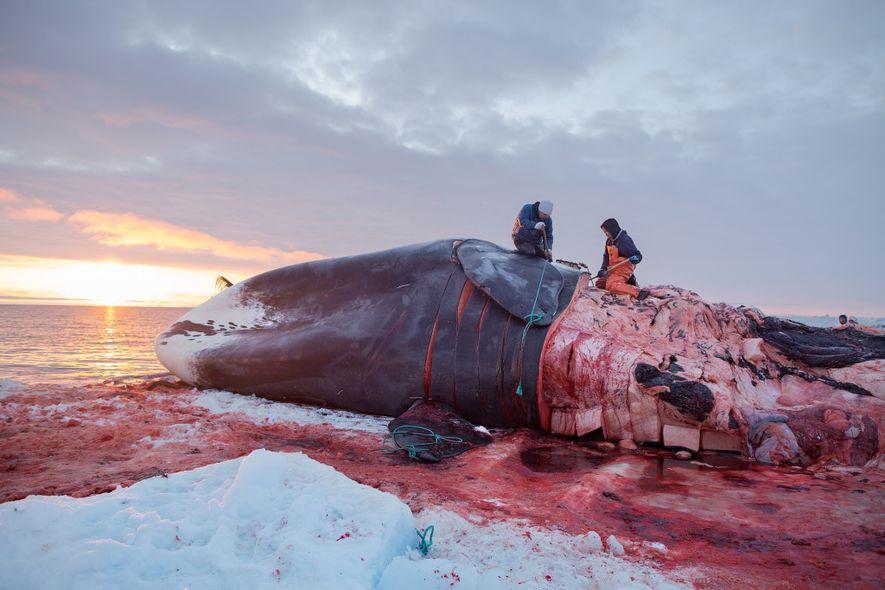 Há milhares de anos, o povo inupiat ao longo de North Slope, no Alasca, caça baleias-da-groenlândia. Uma única baleia pode alimentar toda a comunidade por quase um ano se a carne e a gordura forem devidamente armazenadas, o que tradicionalmente tem sido feito em porões de gelo escavados no permafrost. Conforme o permafrost descongela, os porões de gelo são inundados.