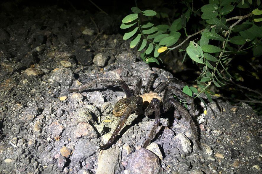 A tarântula escapou com duas pernas feridas, mas deve sobreviver, segundo especialistas.