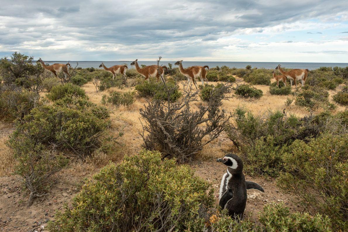 Um pinguim-de-magalhães parece não se incomodar com a passagem de um bando de guanacos na reserva ...